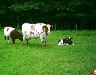 فروش گاوداری شیری 450 راسی