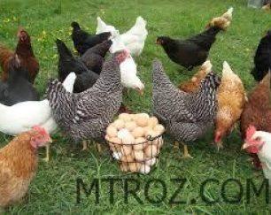 فروش مرغ بومی گندم زار