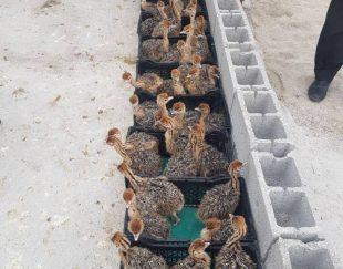 فروش جوجه شتر مرغ و بوقلمون و انواع حیوانات