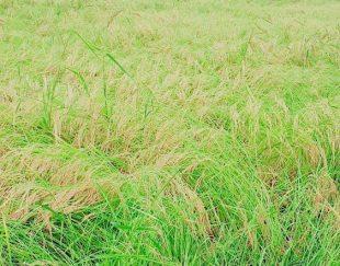 برنج هاشمی معطر گیلان اعلا