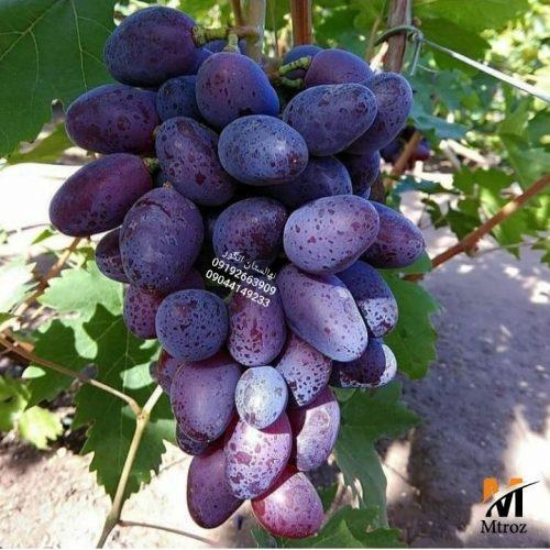 نهالستان انگور