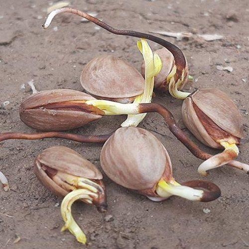 بذر پسته بادامی زرندی