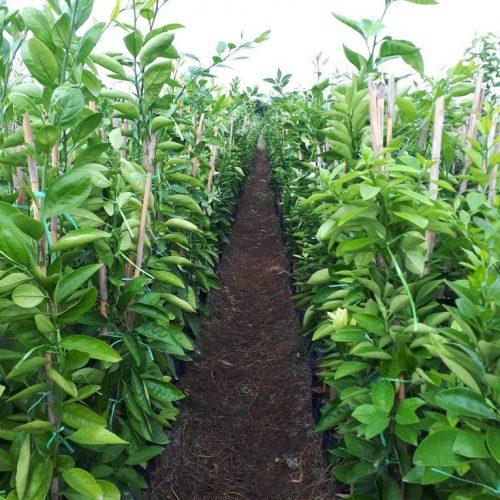 فروش و صادرات انواع نهال میوه